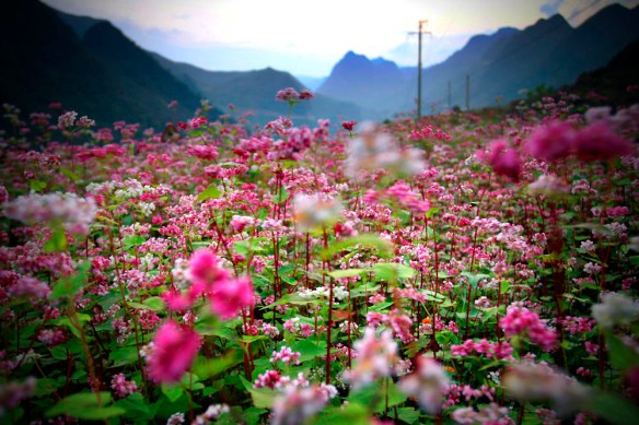 Tam Giac Mach Flower in Winter - Ha Giang, Vietnam